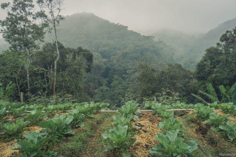 Капустные плантации на высокогорье Кэмерон