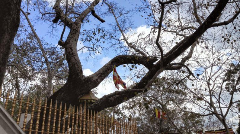 Дерево Бодхи в Анурадхапуре